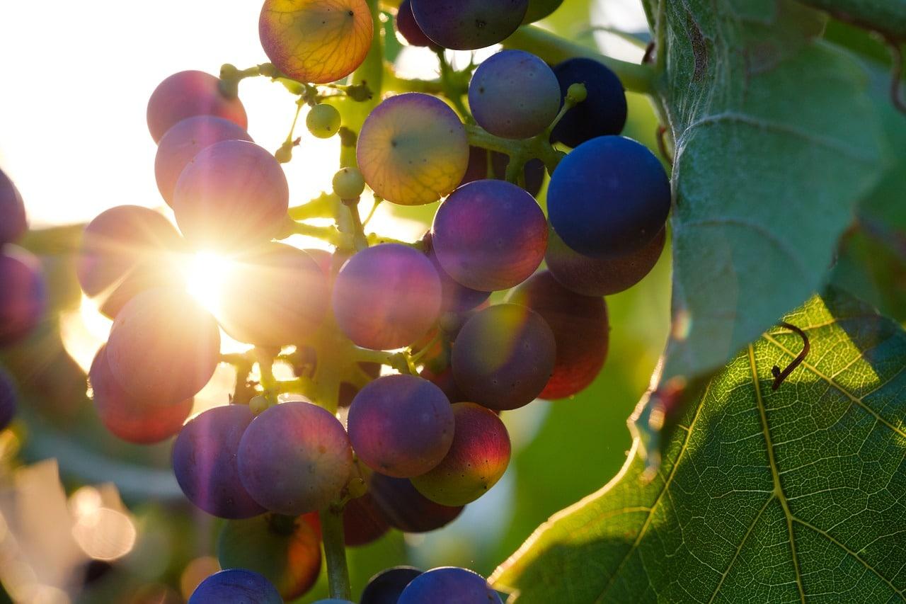 Os vinhos da Puglia